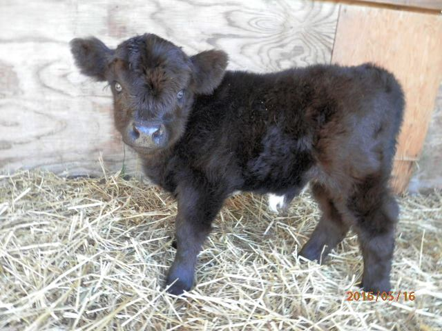 Our Little Acres Specializes in mini cows for sale  We have